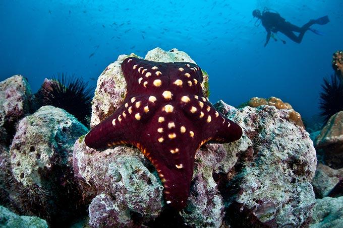 cocos-island-costa-riva-diver-and-seastar-shutterstock_139325636