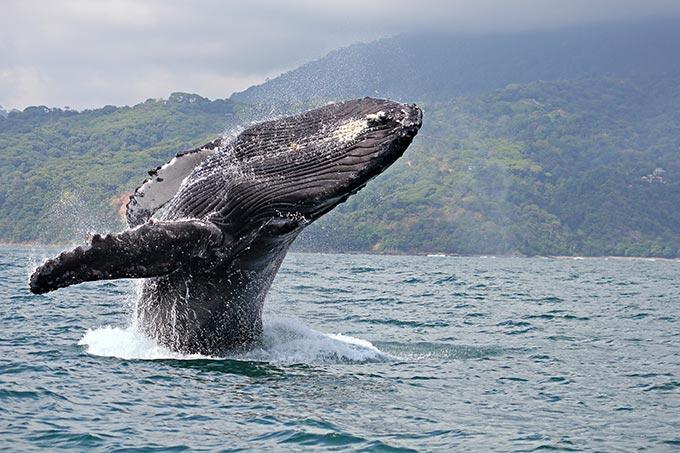 costa-rica-humpback-whale-breaching-in-marino-ballena-national-park-shutterstock_78852880